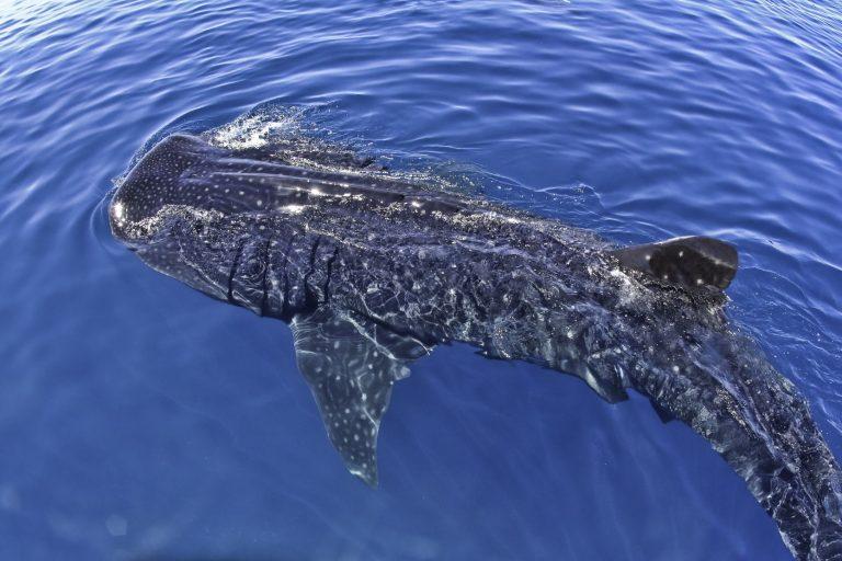 Walhaie in Mexiko