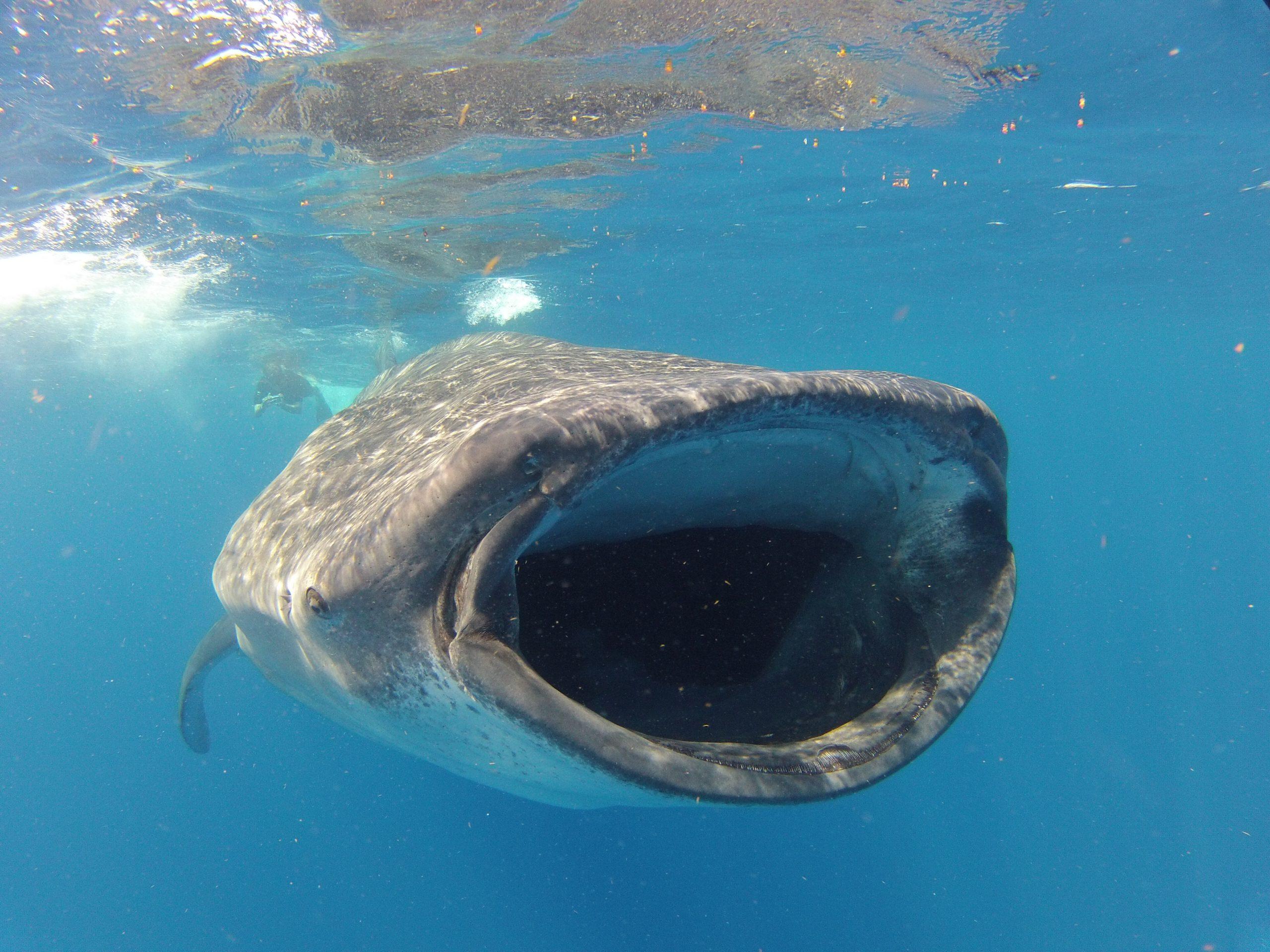 Schwimmen mit Walhaien in Mexiko