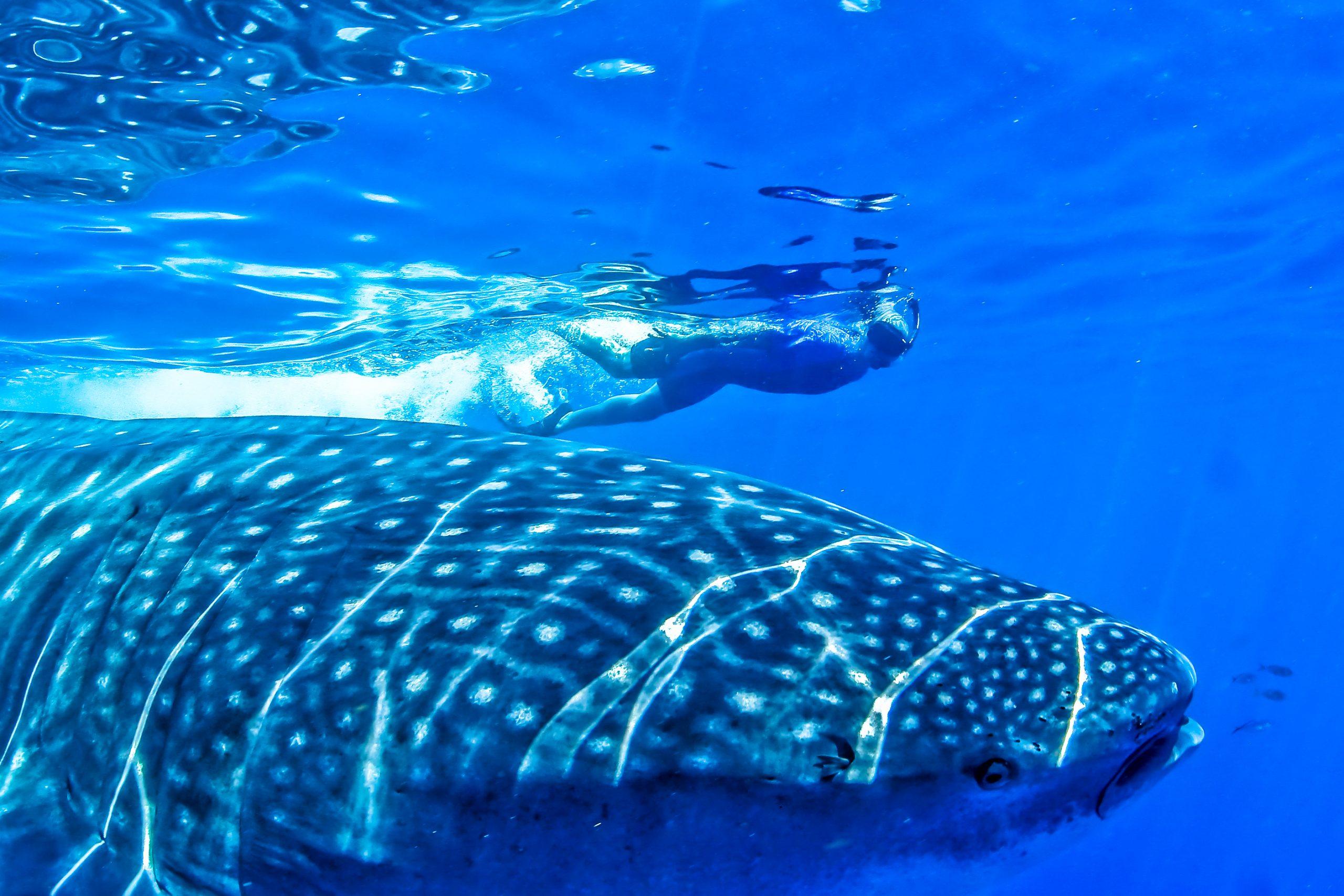 Schnorcheln mit Walhaien in Mexiko