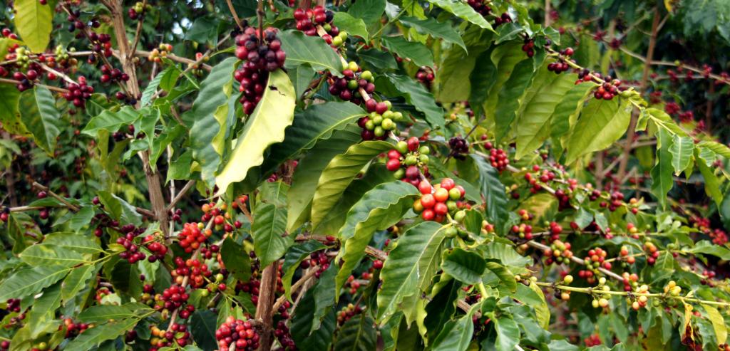 Getränke aus Mexiko: Kaffee